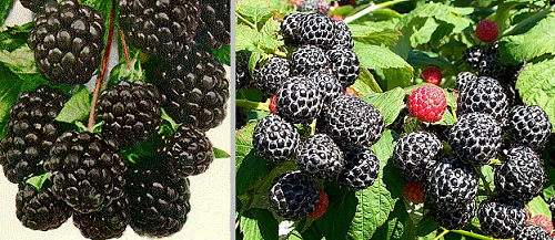 [Image: blackberries.png]